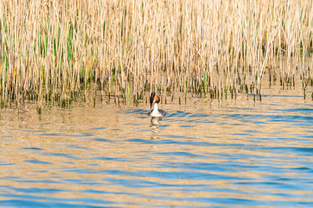 Great Crested Grebe (Podiceps cristatus) on a lake - selective focus