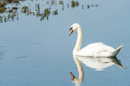 White (mute) swan (Cygnus olor) on a lake Standard-Bild