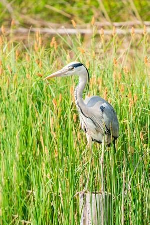 Grey heron (Ardea cinerea) - closeup with selective focus Фото со стока