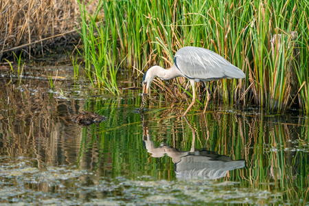 Grey heron (Ardea cinerea) standing in the water having caught a frog - closeup with selective focus Stockfoto