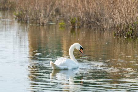 White (mute) swan (Cygnus olor) on a lake Reklamní fotografie - 121820092