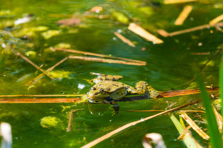 Marsh frog (Pelophylax ridibundus) sitting in a pond - closeup with selective focus