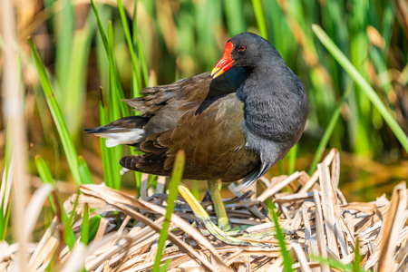 Common moorhen (Gallinula chloropus) on a nest in reeds by a lake - closeup with selective focus