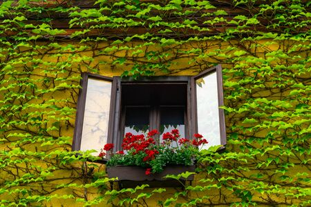 Traditional Austrian window decorated with beautiful flowers and wall covered with vine leaves