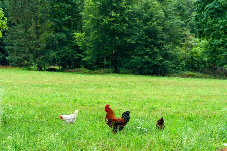 A rooster - an adult male chicken (Gallus gallus domesticus) and hens on a meadow. Stock Photo - 128573389