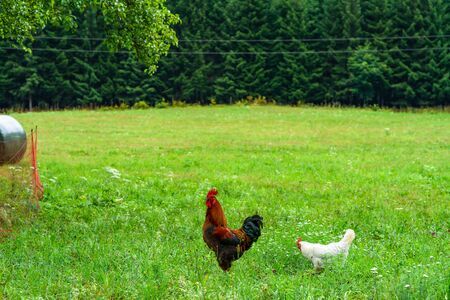 A rooster - an adult male chicken (Gallus gallus domesticus) and a hen on a meadow. Stock Photo