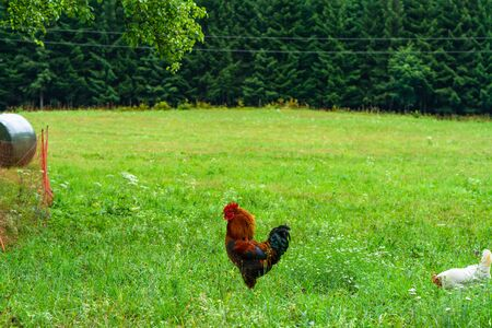 A rooster - an adult male chicken (Gallus gallus domesticus) on a meadow.