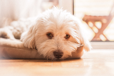 sad dog: Havanese dog on pillow Stock Photo