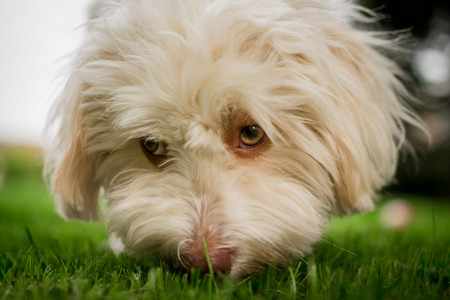 Havanese Dog Sniffing in Gras