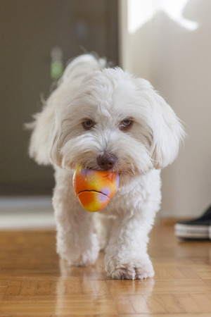 A havaneser dog playing with a ball in the living room