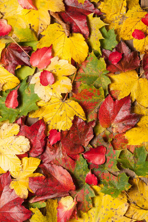 Colorful autumn leaves on a wooden table. photo
