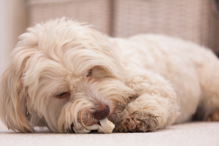 White havanese dog lying on the floor chewing a white bone photo