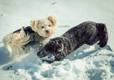 A white havanes and a black crossbreed dog are playing in the snow in wintertime. photo