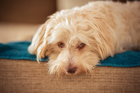 Havanese dog resting on the couch photo