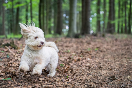 havanese: A white havanese dog is playing with a ball in the forrest. Stock Photo