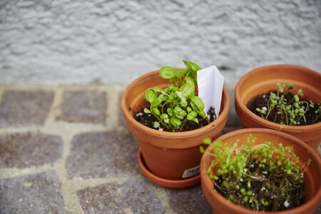 doityourself: Fresh herbage in pots grown in the garden