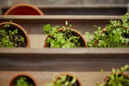 herbage: Fresh herbage in pots grown in the garden