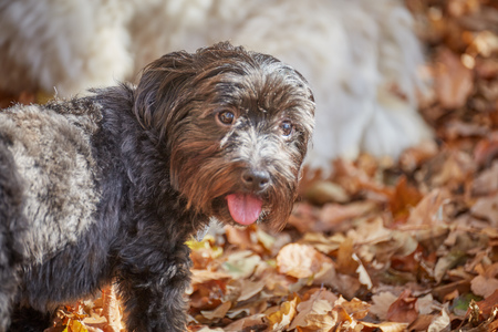 havanese: Two havanese dogs are playing and walking in an autumn forrest with barren leaves