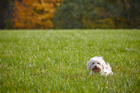 havanese: White havanese dog taking a walk on the leash in an autumn forrest on a sunny day.