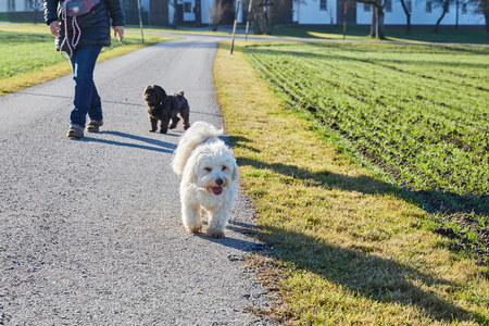 havanese: Havanese dogs playing outdoor in the forest and meadows Stock Photo