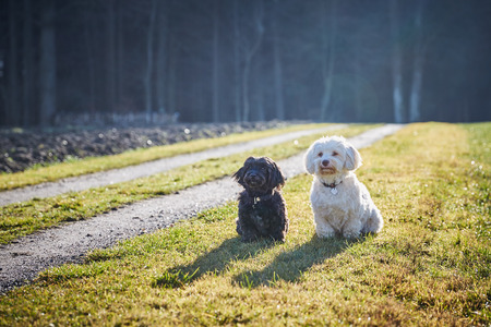 dogs playing: Havanese dogs playing outdoor in the forest and meadows Foto de archivo