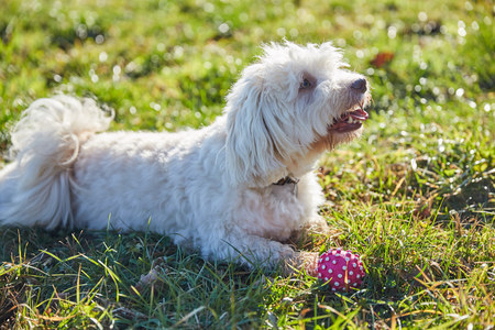 havanese: Havanese dog playing outdoor in the forest and meadows Stock Photo