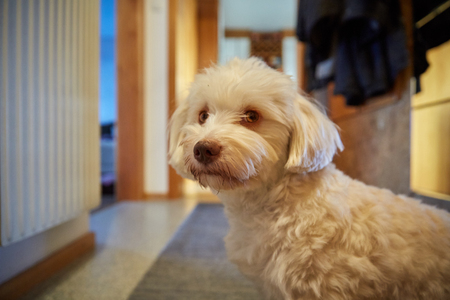 havanese: Havanese dog sitting at home on the floor