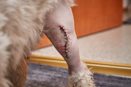 wire pin: Havanese dog with a scar of a patellaluxation operation on the left knee Stock Photo