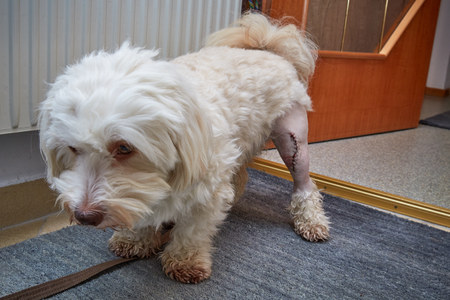 lesion: Havanese dog with a scar of a patellaluxation operation on the left knee Stock Photo