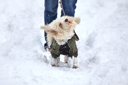 havanese: White havanese dog is swirling of the snow in a winter landscape.