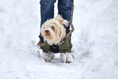 shake off: White havanese dog is shaking off the snow from his coat in a winter landscape.