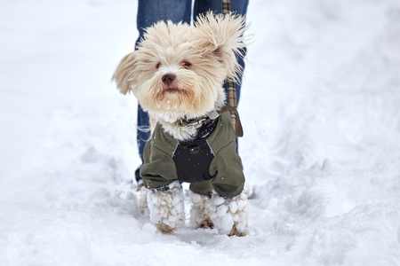 havanese: A cream colored havanese dog in a coat is jumping in a snowy winter landscape. Stock Photo