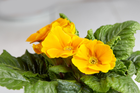yellow blossom: Yellow blossom of petunia flowers in pot on white table with green leaves.