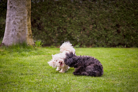 bichon: White and black havanese dog playing and running over the green grass in the garden.