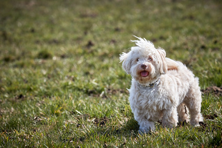 havanese: White Havanese dog standing in the meadow grass in spring Stock Photo