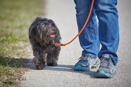 havanese: Havanese dog walking on the lead outside in springtime