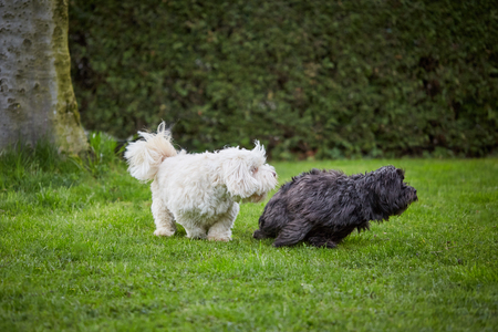 havanese: White and black havanese dog playing and running over the green grass in the garden.