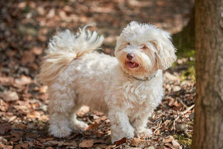 havanese: White havanese dog standing in the forest looking interested in spring