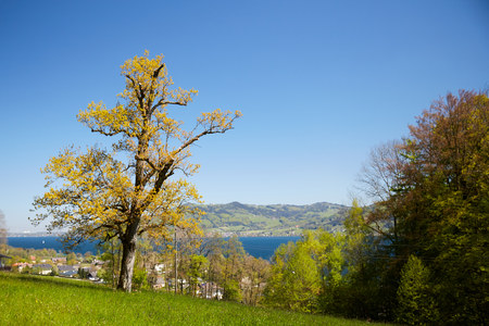traverse: Flowering tree in blossom in front of lake Attersee in spring with green meadows