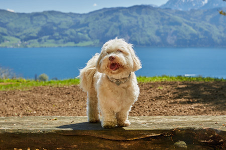 havanese: Havanese dog at lake Attersee in Nussdorf, Salzkammergut, Austria