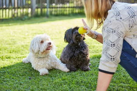obey: El entrenamiento de perros en blanco y negro havanese de obedecer en el jardín Foto de archivo