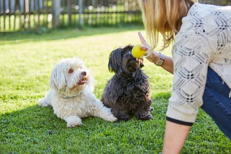 Het trainen van zwart en wit havanese honden te gehoorzamen in de tuin Stockfoto
