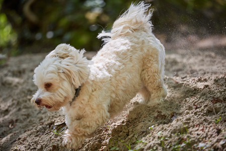 havanese: Havanese dog running a sand on the beach of a river Stock Photo