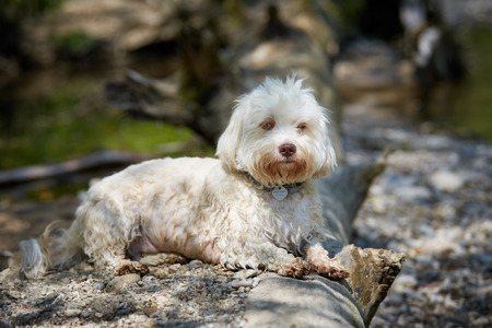 river trunk: White havanese dog lying at a trunk at the river Stock Photo