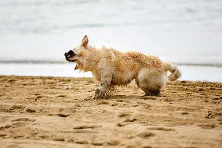 Golden retriever shaking water on the beach Stock Photo