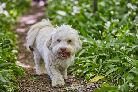 havanese: White Havanese dog walking through green ramsons in the forest Stock Photo