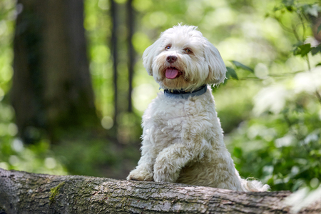 havanese: White havanese dog standing on a tree trunk