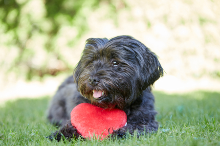 havanese: Black havanese dog with red heart for Valentines day in the green grass