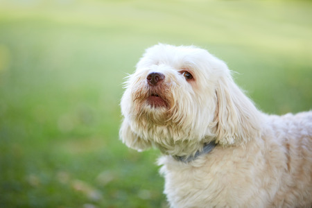 barking: White havanese dog looking before barking and howling