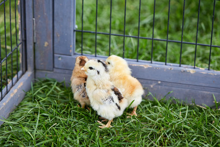 breakout: Three chicks breaking out off the cage in the garden